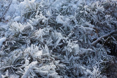 Frost and frost on spruce branches Stock Photo