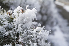 Frost frosted bush branches. Royalty Free Stock Photo