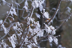 Frost frosted tree branches. Royalty Free Stock Photos