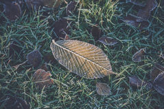 Frost on a frozen leaf. In the green grass on a lawn in the morning sun Stock Photo