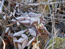 Frost. Frozen leaves conceptual detail image Stock Photography