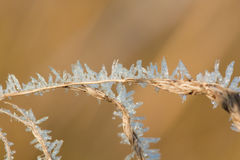 Frost grass close up Royalty Free Stock Image