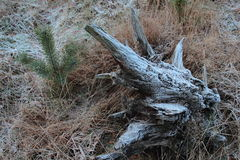 Frost at the grass and old tree trunk Stock Images