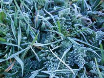 Frost on grass and other green plants royalty free stock photos
