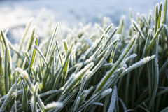 Frost on grass. In winter Royalty Free Stock Images
