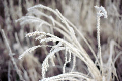 Frost on the grass in Winter forest, snowy lace of ice. Royalty Free Stock Image
