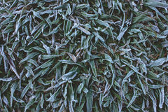 Frost grass Stock Photography