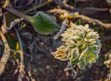 Frost on the grass and yellow leaves. On a frosty morning, Oct royalty free stock photos