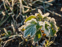 Frost on the grass and yellow leaves. On a frosty morning, Oct royalty free stock images