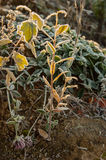 Frost on the grass and yellow leaves Royalty Free Stock Images
