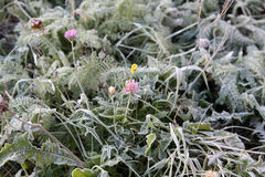 Frost on the green grass Royalty Free Stock Photo