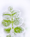 Frost on green leaves Royalty Free Stock Photography