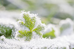 Frost on green leaves Stock Image