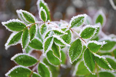 Frost. Green leaves of the plant covered with morning frost Stock Photo