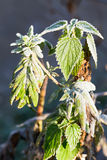 Frost on green nettle leaves in autumn Stock Image