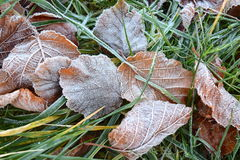 Frost on hazelnut leaves. Frost on fallen hazelnut leaves Royalty Free Stock Image