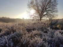 Frost on heath. Cold frosty days in the Netherlands. Dutch landscape Royalty Free Stock Photography