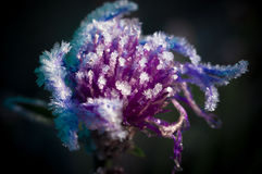 Frost on a herb Royalty Free Stock Photography