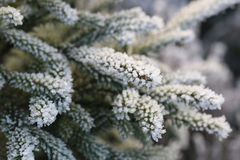 Frost and Ice Crystals on Fir Tree Branches Stock Photos