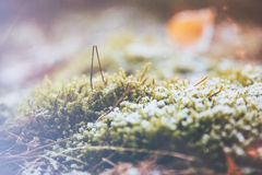 Frost and ice on mossy grass. In the autumn forest Royalty Free Stock Images