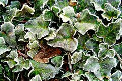 Frost on ivy Royalty Free Stock Image