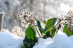 Frost Ivy Stock Photography