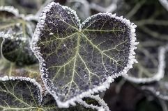 Frost on ivy leaves Stock Photography