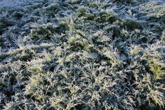 Frost on the juniper tree. Frost on the blue juniper frosty morning Stock Image