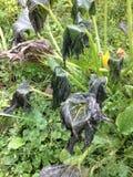 Frost killed squash plant Stock Photo