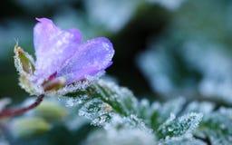 Frost-Kristalle zeichnen die Ränder einer wilden Blume Stockfoto