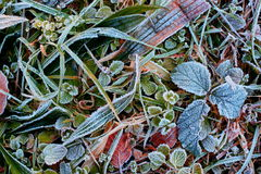 Frost on leafs Stock Image