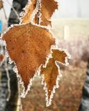 Frost Leave. Winter Time in France Stock Photo