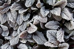 Frost on leaves Stock Photography