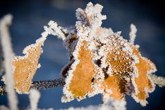 Frost on leaves. Cold winter day and Frost on leaves Royalty Free Stock Photo