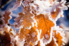 Frost on leaves. Cold winter day and Frost on leaves Stock Image