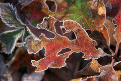 Frost leaves. Crystal frost leaves in early fall Stock Image
