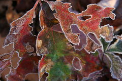 Frost leaves. Crystal frost leaves in early fall Stock Photography