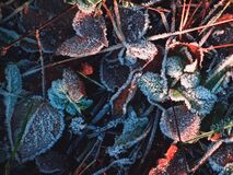 Frost Leaves Royalty Free Stock Images
