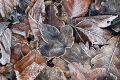 Frost on leaves, autumn backgrund. Frost on leaves, autumn or winter backgrund, brown and white colors, cold weather stock photography