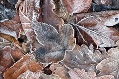 Frost on leaves, autumn backgrund. Frost on leaves, autumn or winter backgrund, brown and white colors, cold weather royalty free stock image