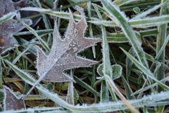 Frost on Leaves. A close up of a thin layer of frost on an oak leaf and grass Royalty Free Stock Images
