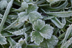 Frost on Leaves. A close up of a thin layer of frost on buttercup leaves Royalty Free Stock Photo