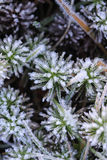 Frost on Leaves Royalty Free Stock Image