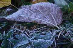 Frost on Leaves and Grass Royalty Free Stock Photo