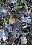 Frost leaves in the morning Royalty Free Stock Image
