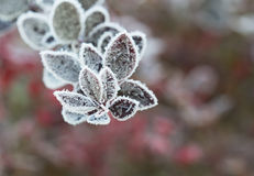 The frost on the leaves. Stock Images