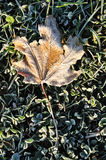 Frost on Lone Maple Leaf Royalty Free Stock Photography