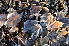 Frost on Maple Leaves Stock Image