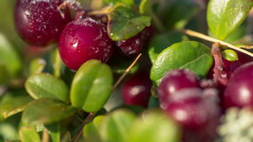 Frost melting on cow-berry plant leaves, full HD stock video footage