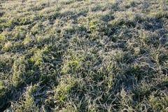 Frost na grama Imagens de Stock